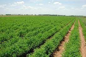 مقابله با کم آبی در کشاورزی با توسعه گیاهان کم آببر در استان مرکزی