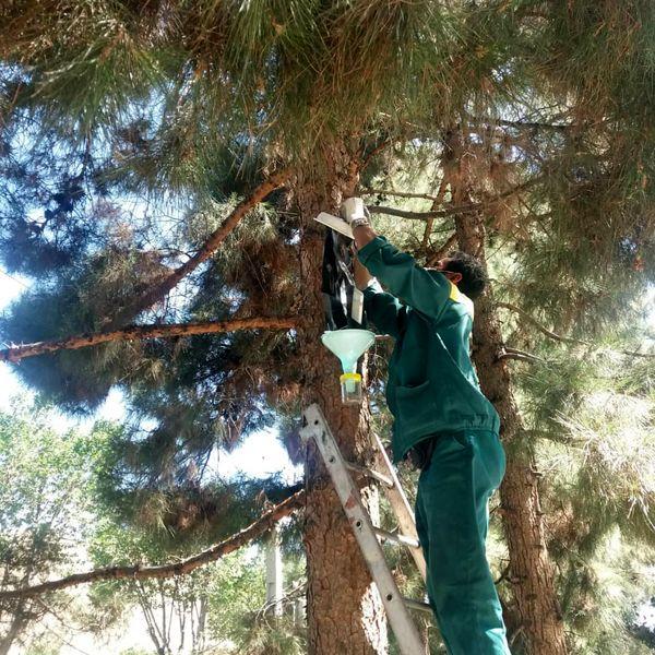 طرح مبارزه با آفت سوسک پوستخوار درختان کاج در بوستان جنگلی سرخه حصار