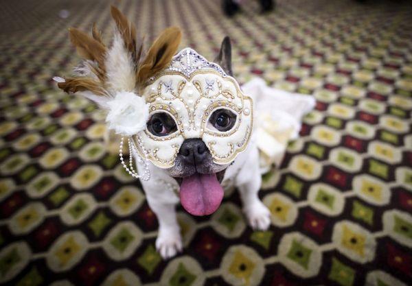 مراسم فشن شوی سگ ها در آمریکا!+ عکس