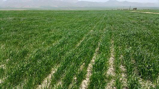 ثبت اطلاعات ۴۳ درصد از اراضی کشاورزی استان مرکزی در سامانه سیاک