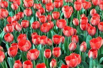 10هزار گل لاله در منطقه دو پایتخت شکوفا شد